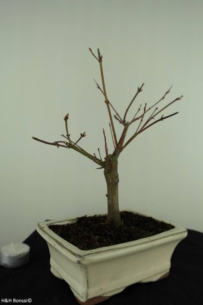 Bonsai L'Erable du Japon,Acer PalmatumBatafurai, no. 7376