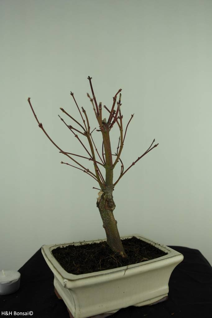 Bonsai Japanese maple Batafurai, Butterfly, no. 7378