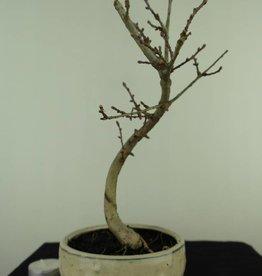 Bonsai Faux mélèze, Pseudolarix amabilis, no. 7389