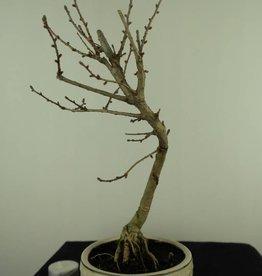 Bonsai Golden Larch, Pseudolarix amabilis, no. 7392