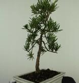Bonsai Buddhist Pine, Podocarpus, no. 7413