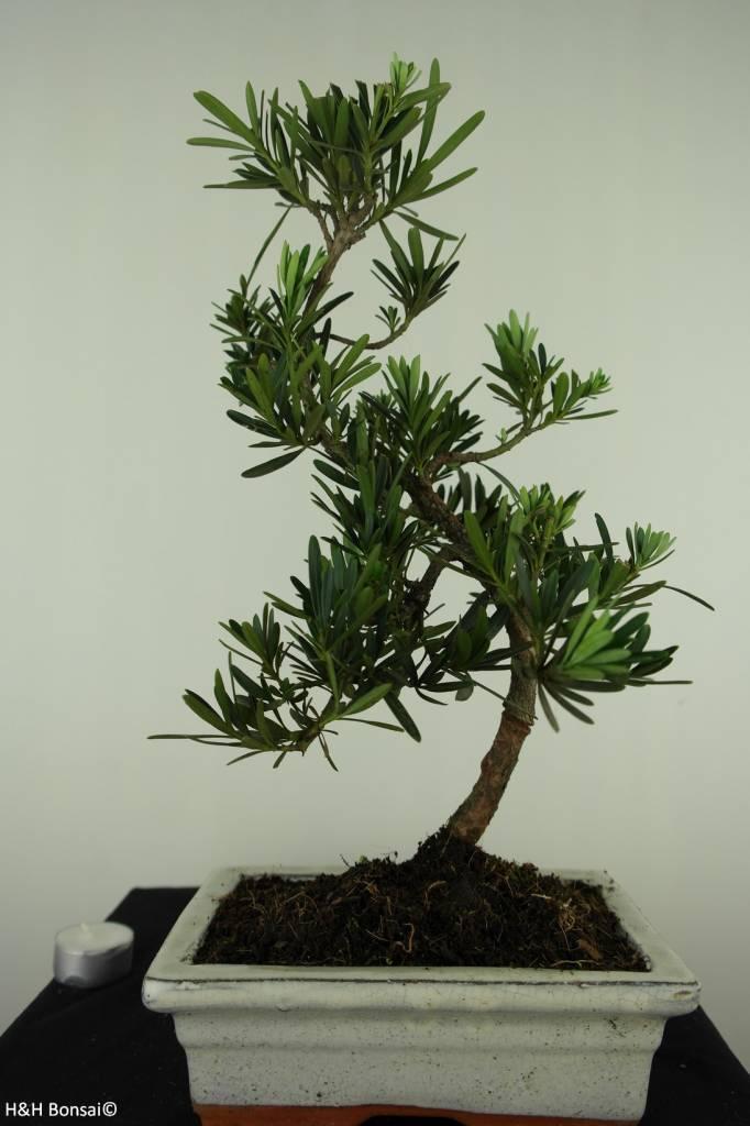 Bonsai Buddhist Pine, Podocarpus, no. 7414