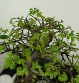 Bonsai Chinese Elm with rock, Ulmus, no. 7430