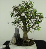 Bonsai Chinese Elm with rock, Ulmus, no. 7432