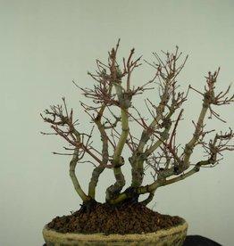 Bonsai L'Erable du Japon, Acer palmatum, no. 7447