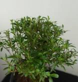 Bonsai Neige de juin, Serissa foetida, no. 7450