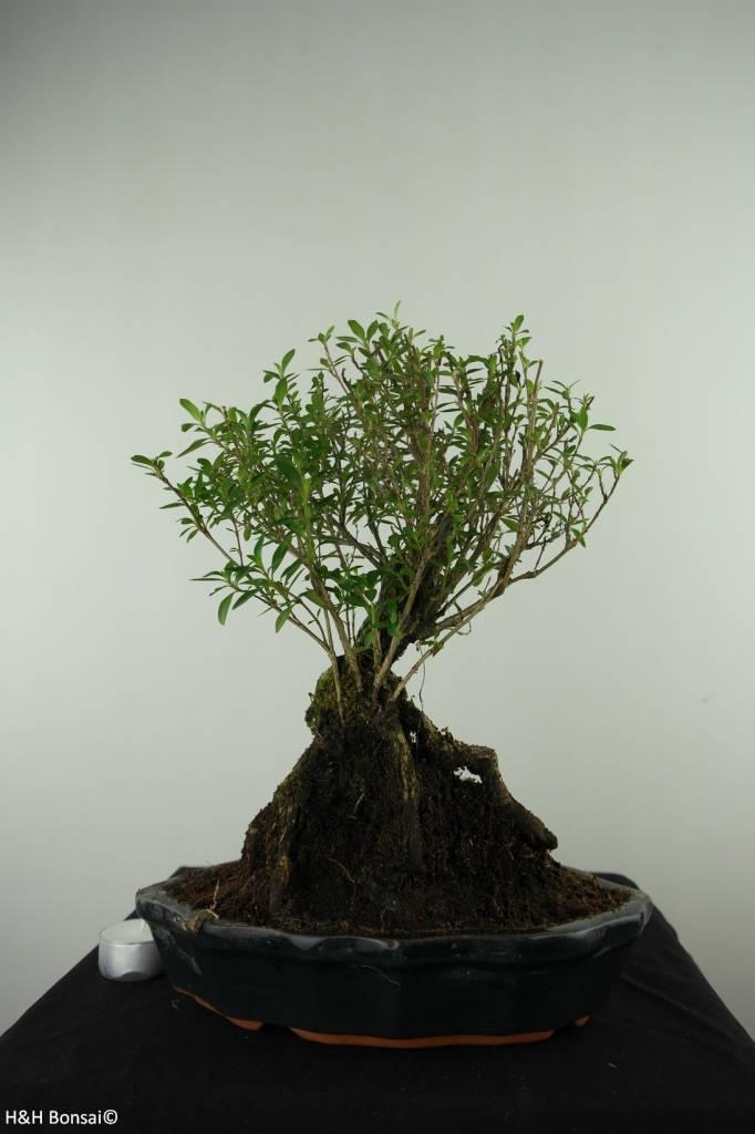 Bonsai Snow Rose, Serissa foetida, no. 7451