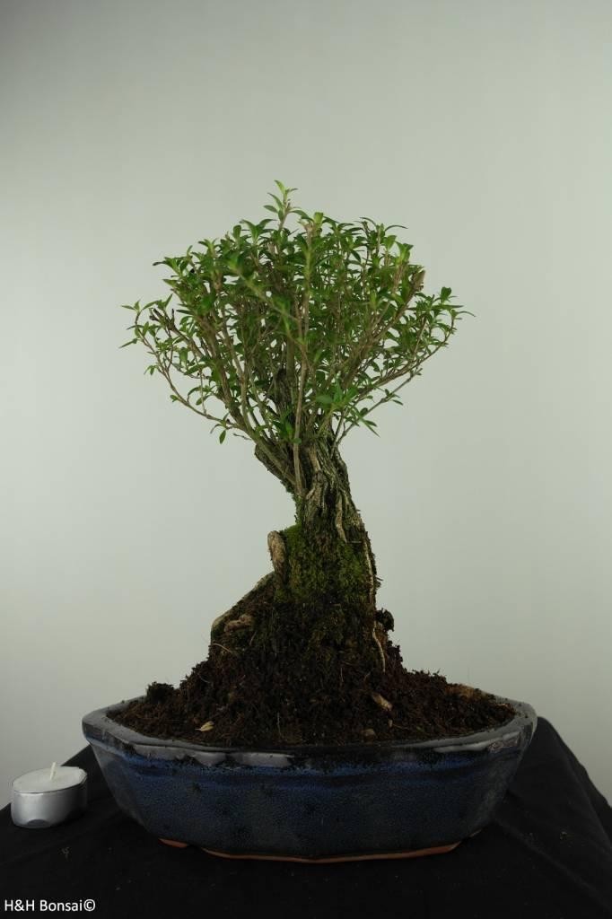 Bonsai Snow Rose, Serissa foetida, no. 7452