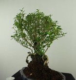 Bonsai Snow Rose, Serissa foetida, no. 7453