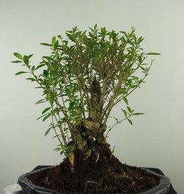 Bonsai Neige de juin, Serissa foetida, no. 7454