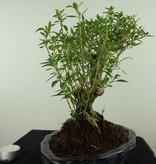 Bonsai Snow Rose, Serissa foetida, no. 7454