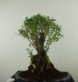 Bonsai Snow Rose, Serissa foetida, no. 7455