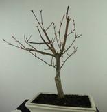 Bonsai L'Erable du Japon deshojo, Acer palmatum deshojo, no. 7456