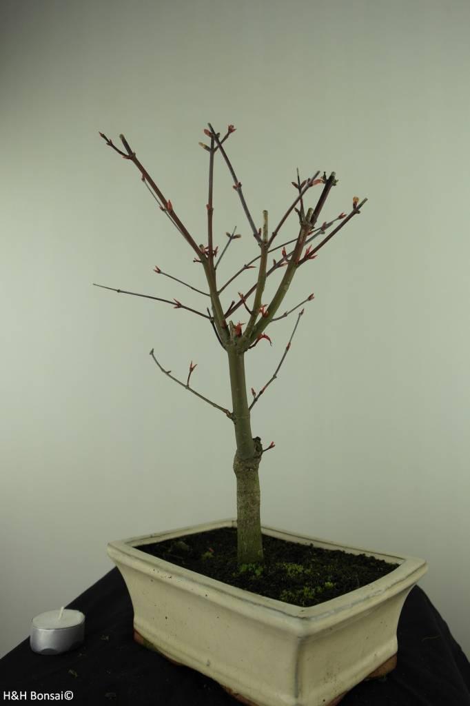 Bonsai Japanese Red Maple, Acer palmatum deshojo, no. 7457