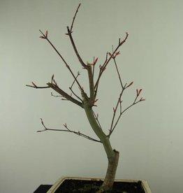 Bonsai Japanese Red Maple, Acer palmatum deshojo, no. 7459