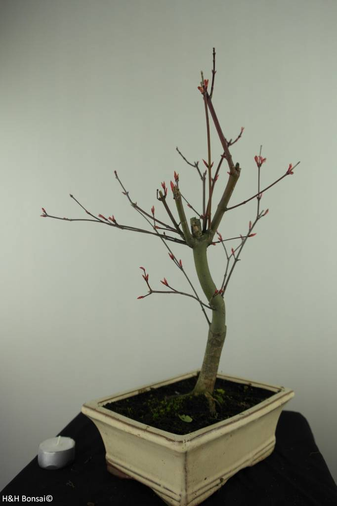 Bonsai Japanese Red Maple, Acer palmatum deshojo, no. 7459