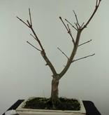 Bonsai Japanese Red Maple, Acer palmatum deshojo, no. 7464
