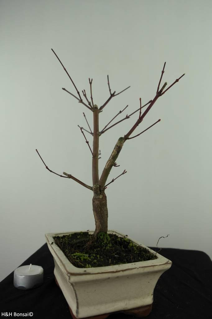 Bonsai L'Erable du Japon deshojo, Acer palmatum deshojo, no. 7464