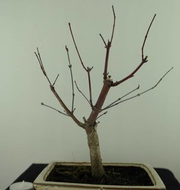 Bonsai L'Erable du Japon deshojo, Acer palmatum deshojo, no. 7467