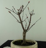 Bonsai Japanese Red Maple, Acer palmatum deshojo, no. 7468