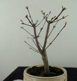 Bonsai L'Erable du Japon deshojo, Acer palmatum deshojo, no. 7468