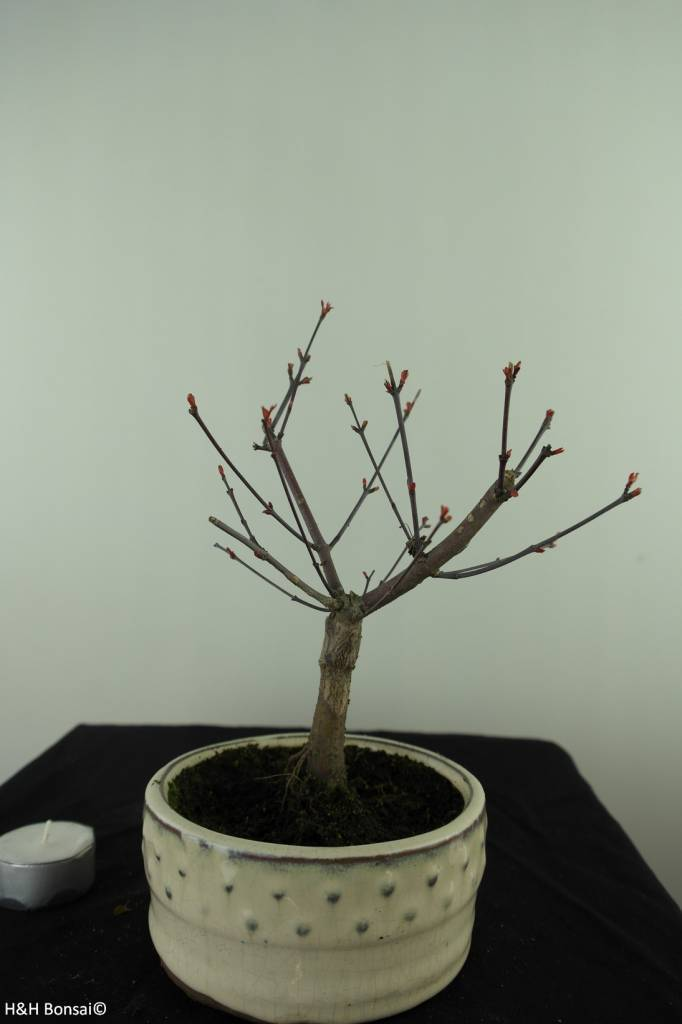 Bonsai Japanese Red Maple, Acer palmatum deshojo, no. 7469