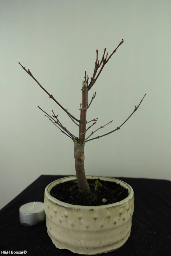 Bonsai Japanese Red Maple, Acer palmatum deshojo, no. 7471