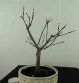 Bonsai L'Erable du Japon deshojo, Acer palmatum deshojo, no. 7471