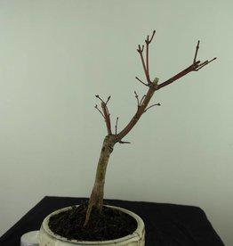 Bonsai L'Erable du Japon deshojo, Acer palmatum deshojo, no. 7472