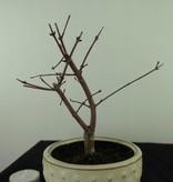 Bonsai L'Erable du Japon deshojo, Acer palmatum deshojo, no. 7473