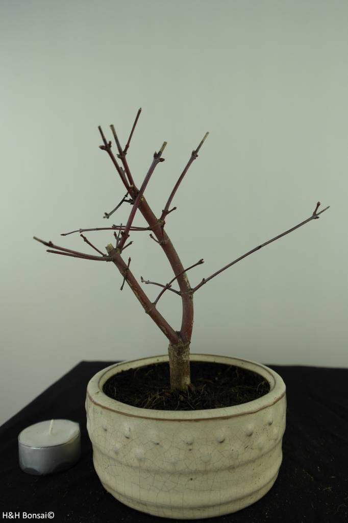Bonsai Japanese Red Maple, Acer palmatum deshojo, no. 7473
