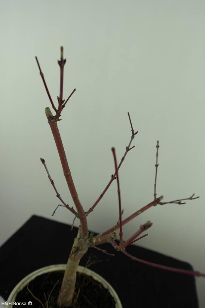 Bonsai Japanese Red Maple, Acer palmatum deshojo, no. 7474