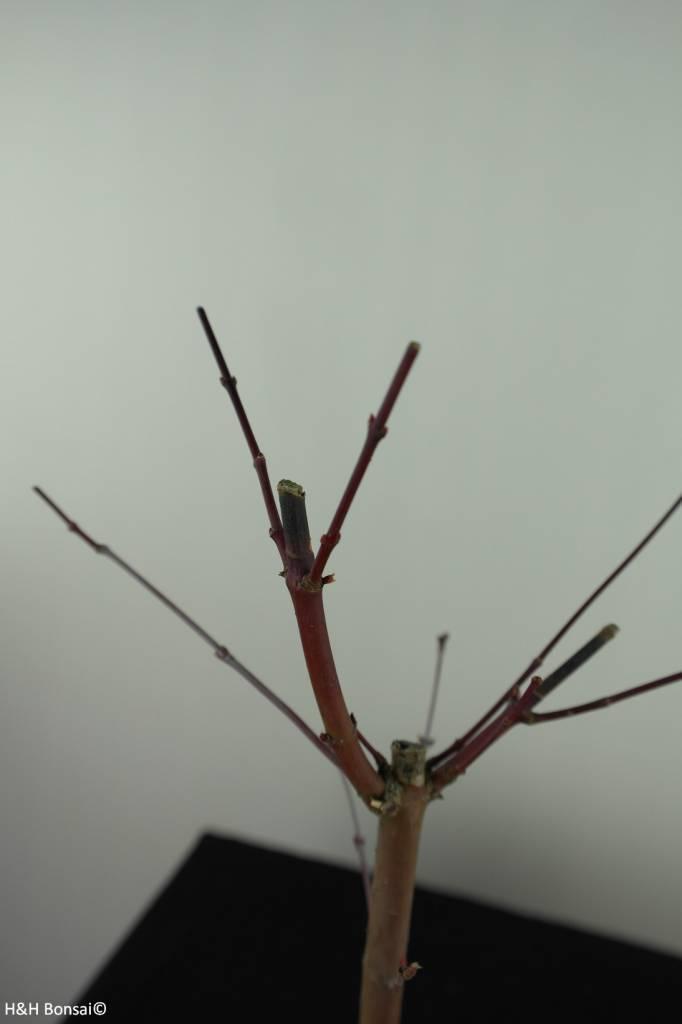 Bonsai Japanese Red Maple, Acer palmatum deshojo, no. 7476