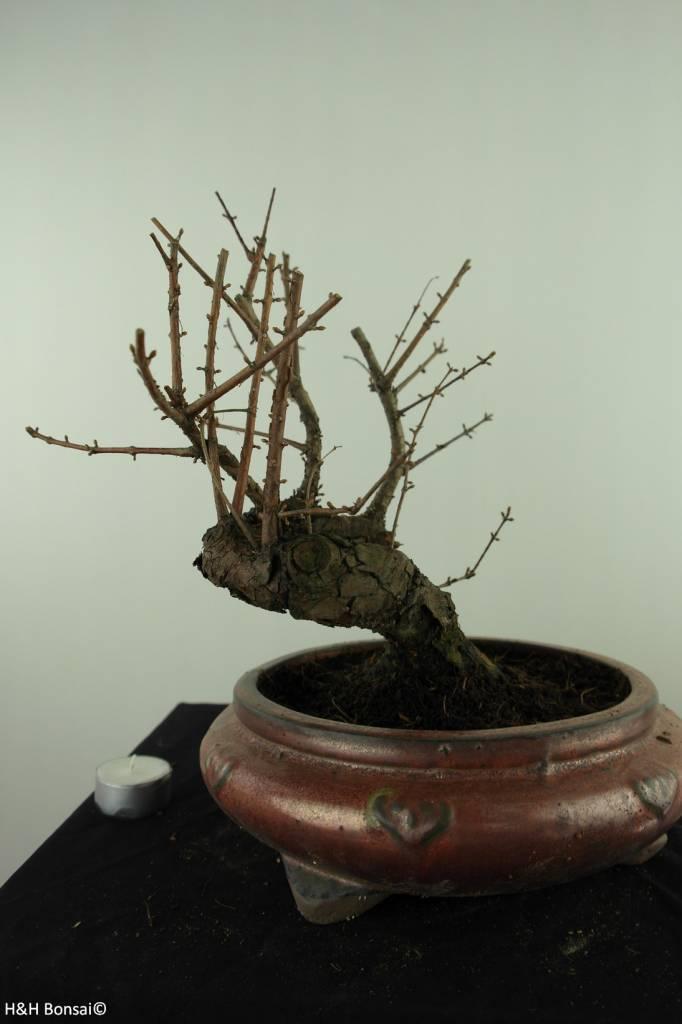 Bonsai Dawn Redwood, Metasequoia, no. 7480