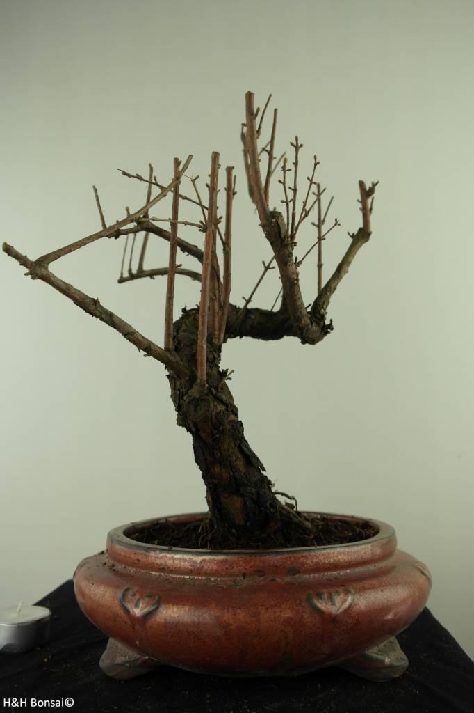 Bonsai Dawn Redwood, Metasequoia, no. 7481