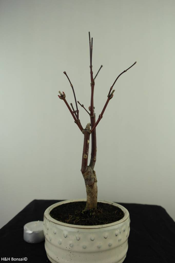 Bonsai Japanese Maple, Acer palmatum Atropurpureum, no. 7484