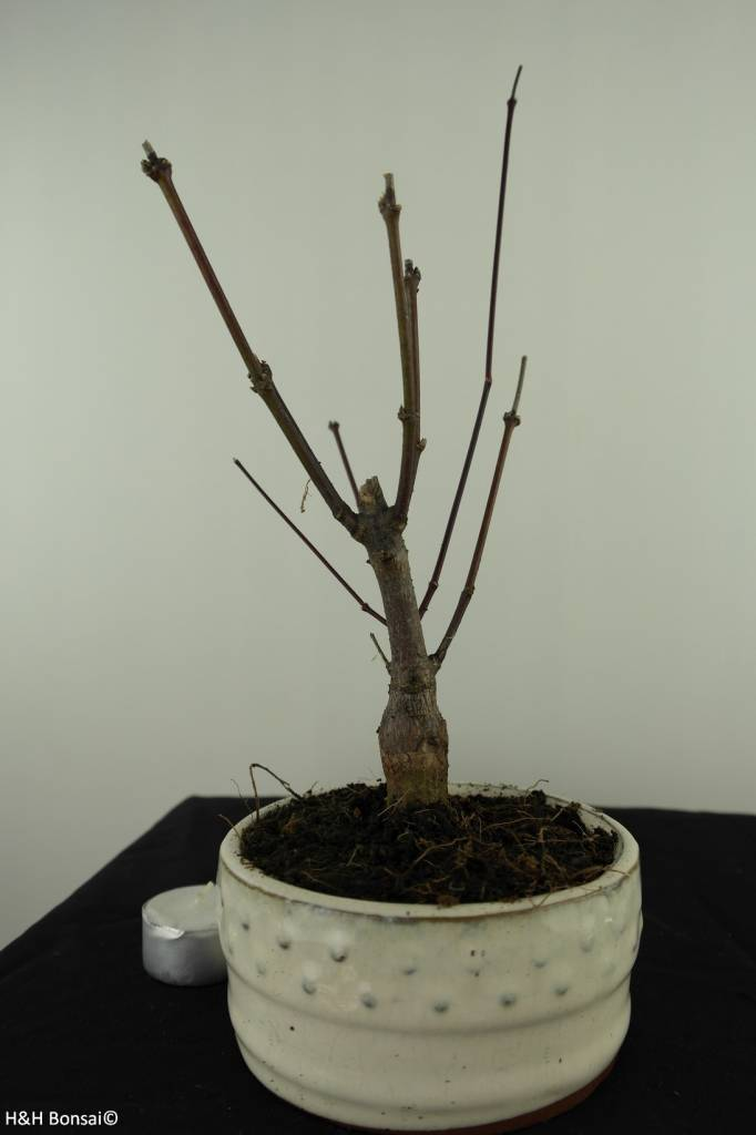 Bonsai L'Erable du Japon, Acer palmatum Atropurpureum, no. 7485