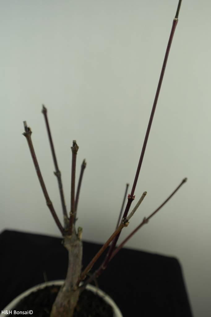Bonsai Japanese Maple, Acer palmatum Atropurpureum, no. 7485