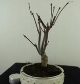 Bonsai L'Erable du Japon, Acer palmatum Atropurpureum, no. 7486