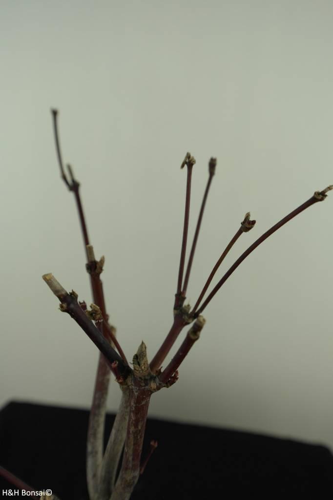 Bonsai Japanese Maple, Acer palmatum Atropurpureum, no. 7486