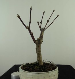 Bonsai L'Erable du Japon, Acer palmatum Atropurpureum, no. 7487