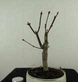 Bonsai L'Erable du Japon, Acer palmatum Atropurpureum, no. 7487