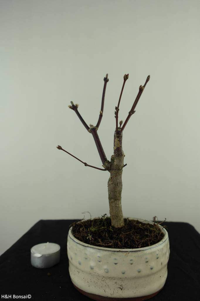 Bonsai Japanese Maple, Acer palmatum Atropurpureum, no. 7487