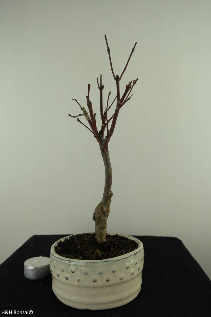 Bonsai Japanese Maple, Acer palmatum Atropurpureum, no. 7488