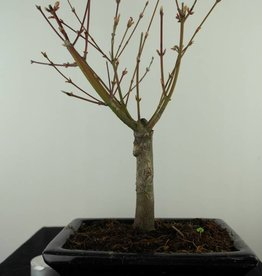 Bonsai L'Erable du Japon, Acer Palmatum Batafurai, no. 7489