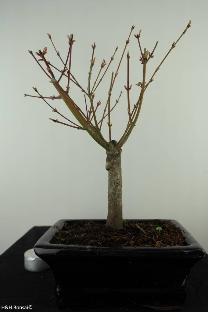 Bonsai L'Erable du Japon,Acer PalmatumBatafurai, no. 7489