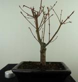 Bonsai L'Erable du Japon,Acer PalmatumBatafurai, no. 7490