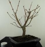 Bonsai L'Erable du Japon,Acer PalmatumBatafurai, no. 7493