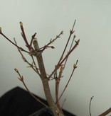 Bonsai Japanese Maple Batafurai, Butterfly, no. 7493