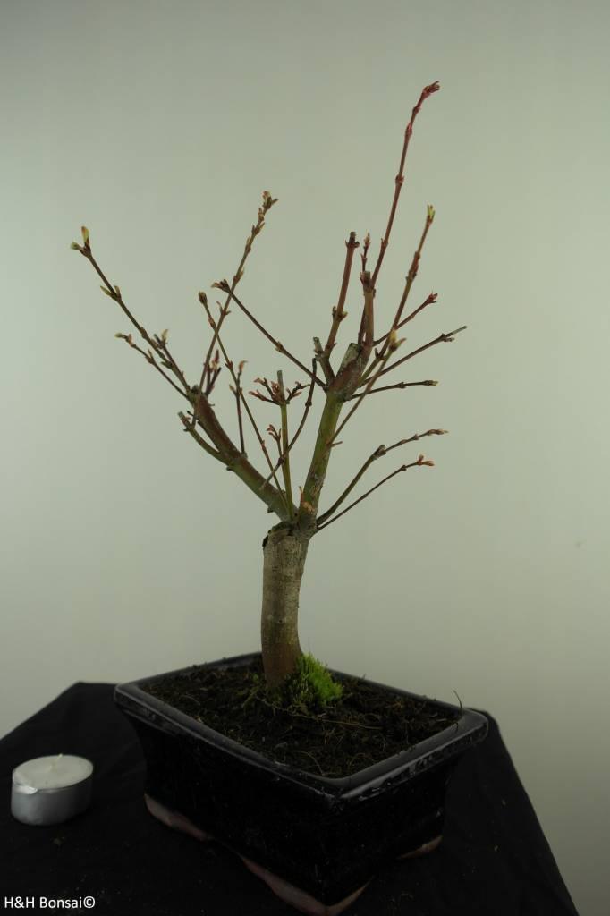 Bonsai L'Erable du Japon,Acer PalmatumBatafurai, no. 7495